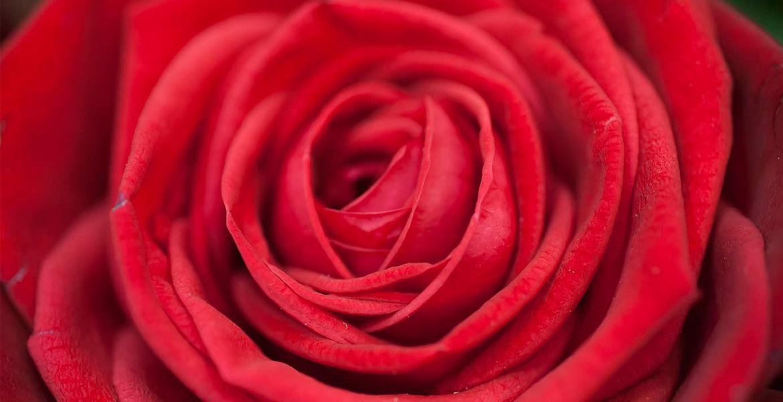 La Rose Rouge Fleuriste A Saint Malo